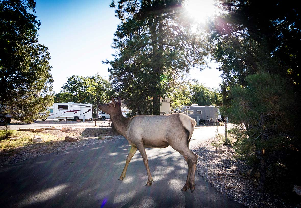 An elk exploring the grounds at Trailer Village RV Park